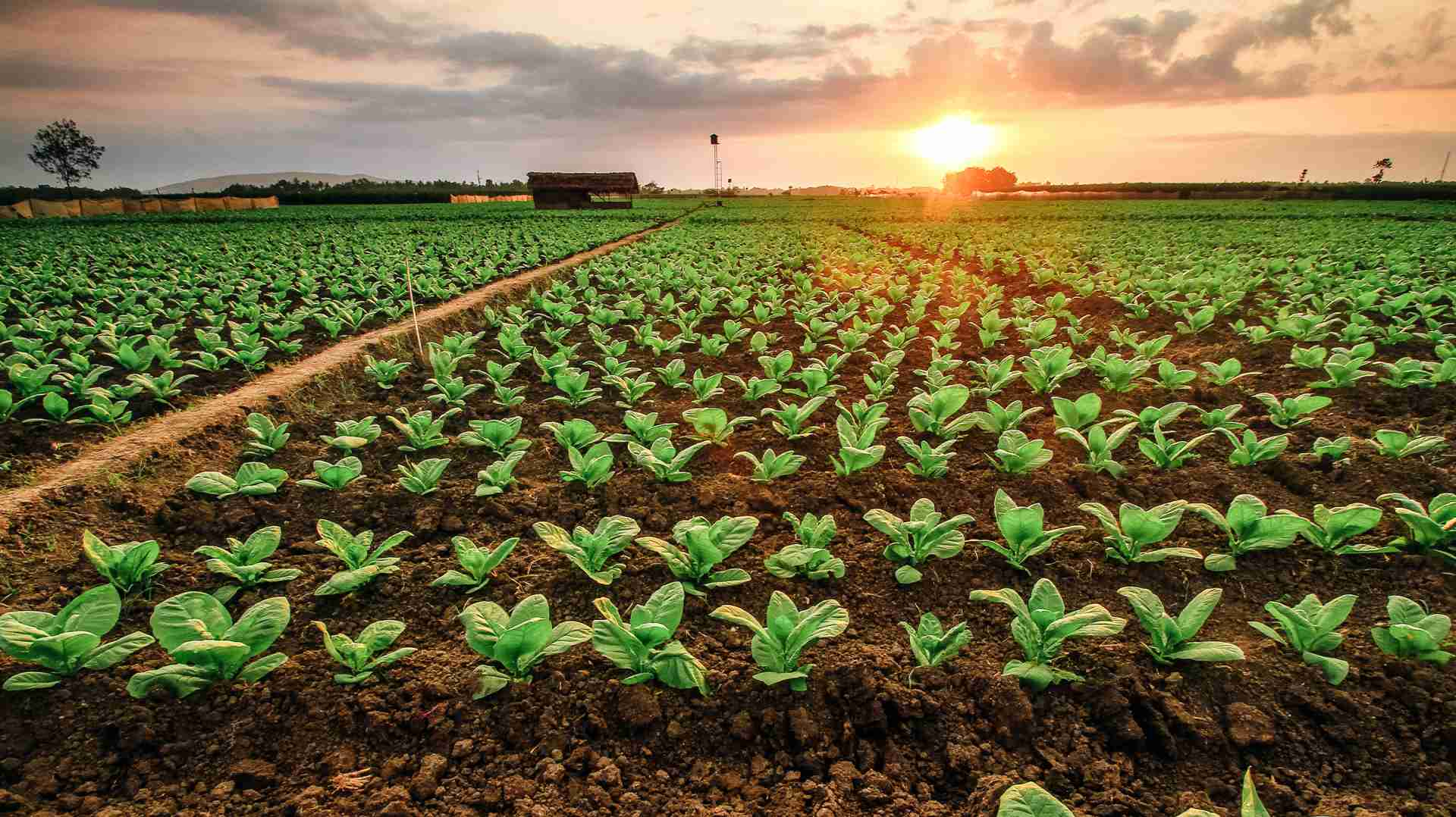 wide shot of tobacco plant fields at sunset